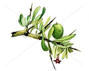 Argania Argania spinosa