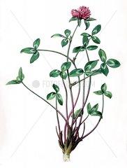 Klee trifolium pratense