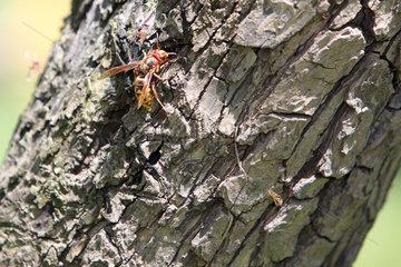 Graditz  Deutschland  Hornisse auf einer Baumrinde