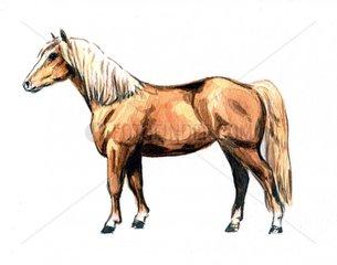 Serie Pferderassen Haflinger