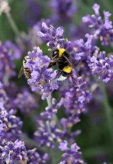 Berlin  Deutschland  Honigbiene und Dunkle Erdhummel sammeln Nektar aus einer Lavendelbluete