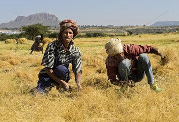 Bauern bei der Ernte von Teff (Eragrostis tef) mit der Sichel Hawzien  Tigray  Aethiopien