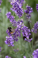 Berlin  Deutschland  Gehoernte Mauerbiene sammelt Nektar aus einer Lavendelbluete