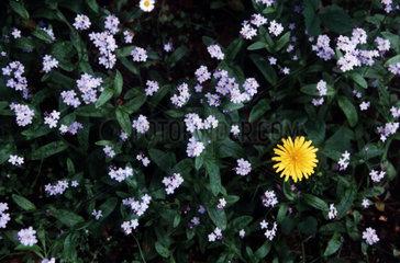 Loewenzahn und Vergissmeinnicht in ein Blumenbeet