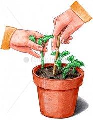 Pelargoniensteckling einplanzen