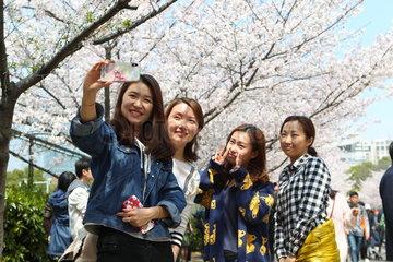 CHINA-SHANGHAI-CAMPUS-CHERRY BLOSSOMS (CN)