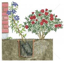 Clematis pflanzen Wurzelschutz