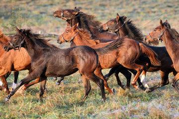 Gestuet Goerlsdorf  Pferde am Morgen im Galopp auf der Weide
