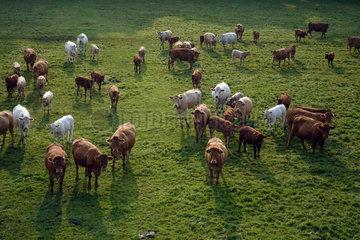 Ascheberg-Herbern  Deutschland  Rinder auf einer Weide aus der Vogelperspektive