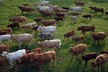 Ascheberg-Herbern  Deutschland  Rinder auf einer Weide in Bewegung aus der Vogelperspektive