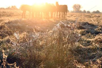 Gestuet Goerlsdorf  Graeser auf einer Pferdeweide sind mit Spinnweben ueberzogen