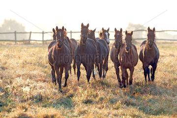 Gestuet Goerlsdorf  Pferde am Morgen im Trab auf der Weide