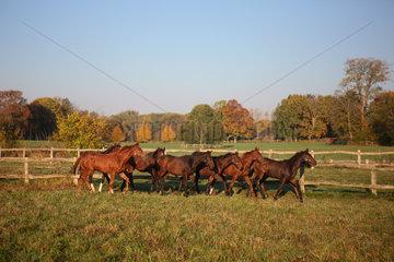 Gestuet Goerlsdorf  Pferde an einem Herbstmorgen im Trab auf der Weide