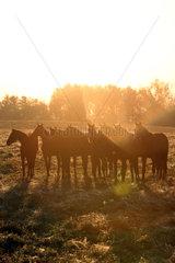 Gestuet Goerlsdorf  Silhouette  Pferde stehen bei Sonnenaufgang auf der Weide