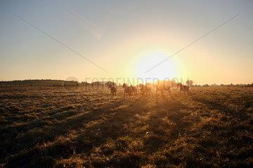 Gestuet Goerlsdorf  Silhouette  Pferde bei Sonnenaufgang im Galopp auf der Weide
