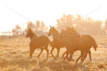 Gestuet Goerlsdorf  Silhouette  Pferde am Morgen im Galopp auf der Weide
