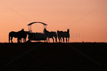 Gestuet Goerlsdorf  Silhouette  Pferde stehen bei Morgendaemmerung auf der Weide