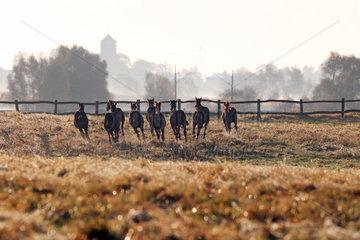 Gestuet Goerlsdorf  Silhouette  Pferde im Galopp auf der Weide