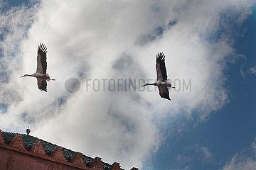 Flying Storks - Marrakesh