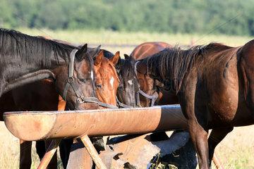 Gestuet Westerberg  Pferde fressen auf der Weide aus einem Futtertrog