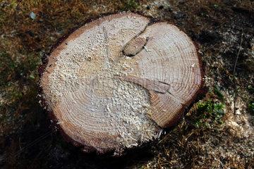 Berlin  Deutschland  Querschnitt eines Baumstammes mit Jahresringen