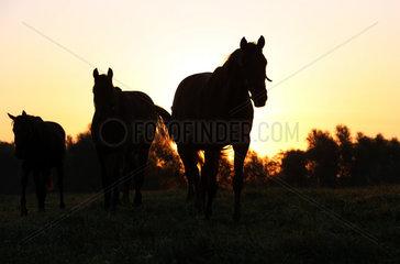 Gestuet Goerlsdorf  Silhouette  Pferde bei Sonnenaufgang auf der Weide