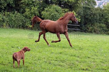 Gestuet Westerberg  Pferd trabt mit erhobenem Schweif vor einem Hund auf der Weide