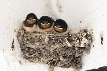Ascheberg-Herbern  Deutschland  junge Mehlschwalben sitzen in ihrem Nest