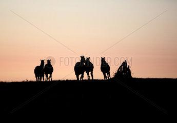 Gestuet Goerlsdorf  Silhouette  Pferde bei Morgendaemmerung im Galopp auf der Weide