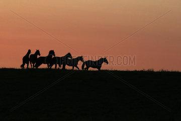 Gestuet Goerlsdorf  Silhouette  Pferde bei Morgendaemmerung im Trab auf der Weide