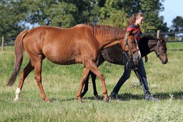 Gestuet Westerberg  Pferdepflegerin fuehrt Stute und Fohlen von der Weide