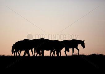 Gestuet Goerlsdorf  Silhouette  Pferde bei Morgendaemmerung im Schritt auf der Weide
