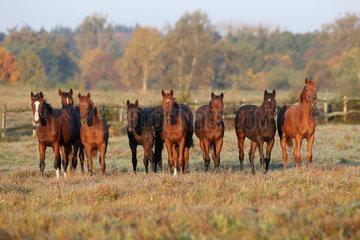 Gestuet Goerlsdorf  Pferde stehen an einem Herbstmorgen auf der Weide