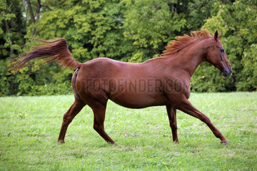 Gestuet Westerberg  Pferd im Galopp auf der Weide