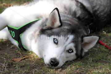 Iffezheim  Deutschland  Siberian Husky liegt am Boden