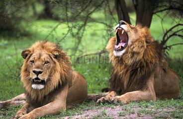 BOTSWANA Delta de lOkavango Un couple de lions au repos