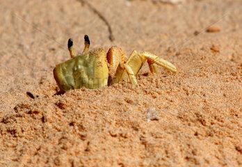 Denham  Australien  Westatlantische Reitkrabbe am Strand