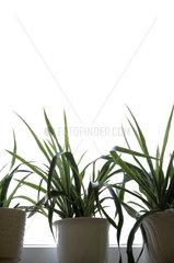 Riedlingen  Pflanzen auf einem Fensterbrett