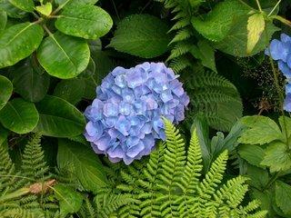 Hortensie Bluete im Gebuesch