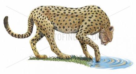 Gepard am Wasserloch