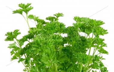 garden parsley Petroselinum crispum  foliage  leaves