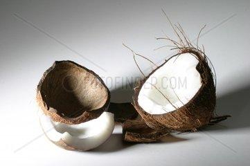 coconut palm Cocos nucifera  coconut opened drupe