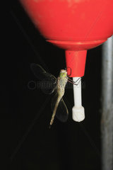 Libelle an ein Waschbecken in der Mongolei