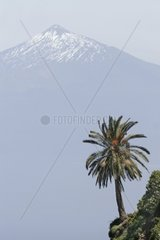 Canary island date palm Phoenix canariensis  Pico del Teide with Canary Island date palm  Spain  Canary Islands  La Gomera