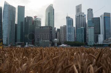 Singapur  Republik Singapur  Weizenfeld und Wolkenkratzer