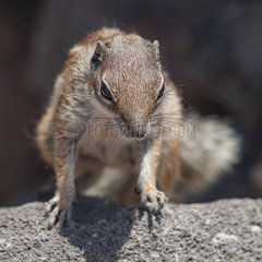 Barbary ground squirrel - Jandia  Fuerteventura