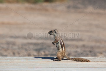 Barbary ground squirrel - Jandia  Fuerteventura
