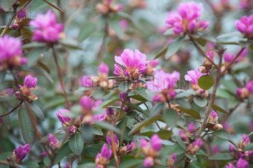 Kremperheide  Deutschland  Azaleenblueten im Gewaechshaus einer Baumschule