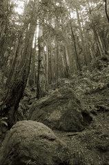 Redwoods im Nationalpark Muir Woods  Kalifornien