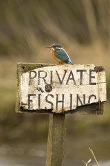 Kingfisher near Kirkudbright Dumfries and Galloway Scotland